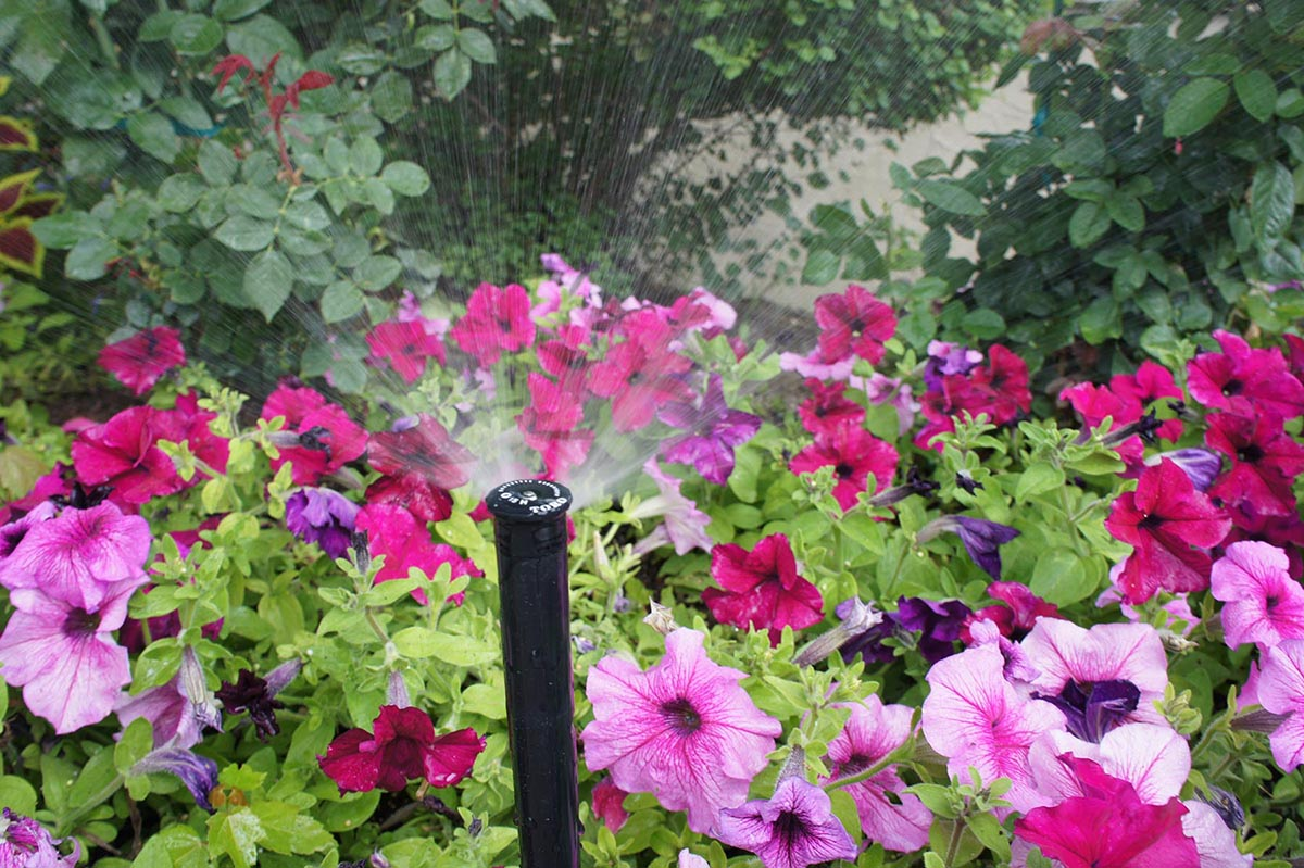 Sprinkler head watering pink and magenta flowers in a garden
